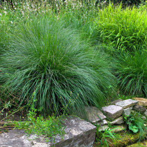 Trawy w ogrodzie - Kostrzewa MiotlastaPopielata