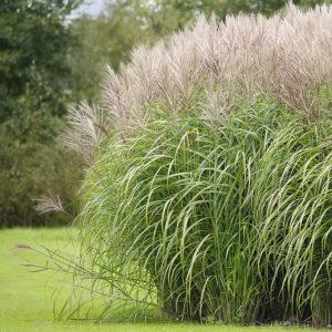 Trawy ozdobne - Miskant chiński