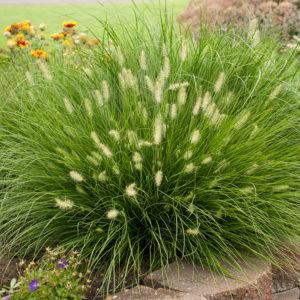 Trawy w ogrodzie - Rozplenica Japońska