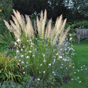 Trawy w ogrodzie - Trzcinnik Krótkowłosy