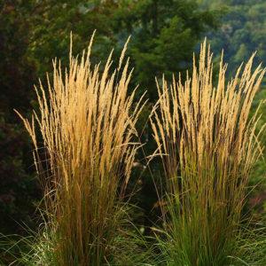 Trawy ozdobne - Trzcinnik Ostrokwiatowy