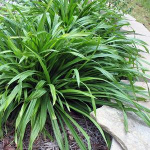Trawy w ogrodzie - Turzyca Szerokolistna